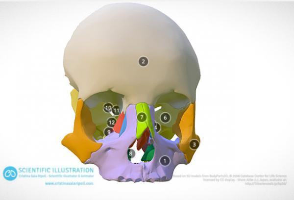 Bones of the orbit II